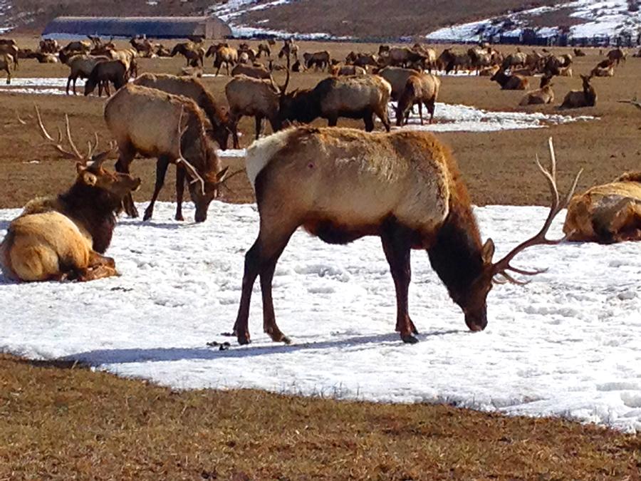 National Elk Reserve