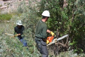 RRAFT Saw Crew helps remove Russian Olive alongside the banks of the Gunnison River in Gunnison Gorge National Conservation Area. Photo courtesy of RRAFT