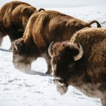 Yellowstone bison. Photo by Jay Goodrich.